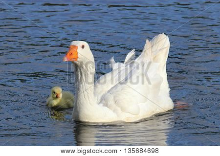 A white mother goose with her gosling swimming on a pond.
