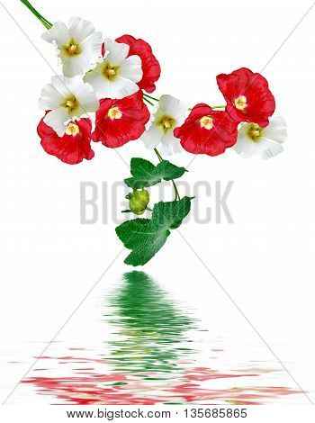 mallow flowers isolated on white background. colorful flowers
