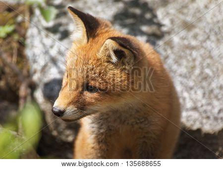 Cute Fox Portrait