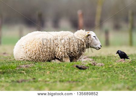on the field is there an sheep stay around and eat the grass