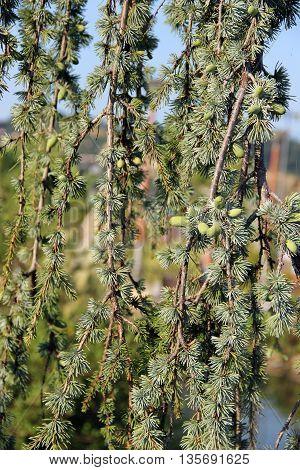 Conifer in Sochi Park in Russian.  conifer plant.  Close-up