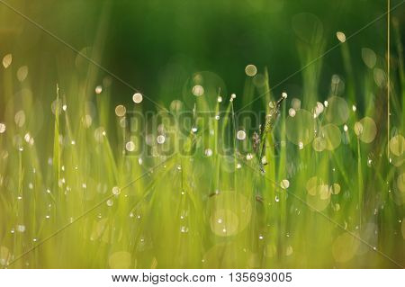 Wild young green grass covered with dewdrops closeup
