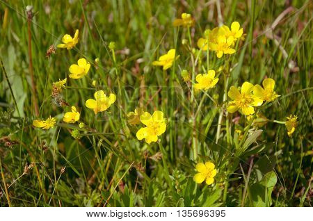 ranunculus acris - meadow buttercup - tall buttercup - common buttercup - giant buttercup - showy buttercup - tall crowfoot