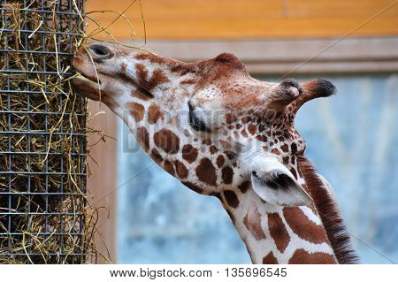 An African Giraffe is feeding from the straw bucket in the zoo