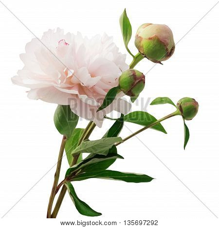 Bouquet of pink peonies isolated on white background
