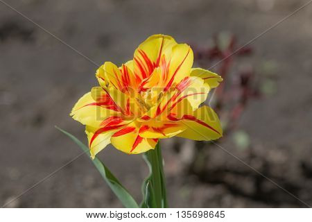 yellow tulip in the spring close up