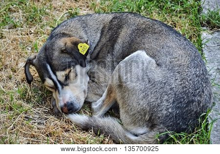 Homeless cute dog sleeping in the grass beside the street