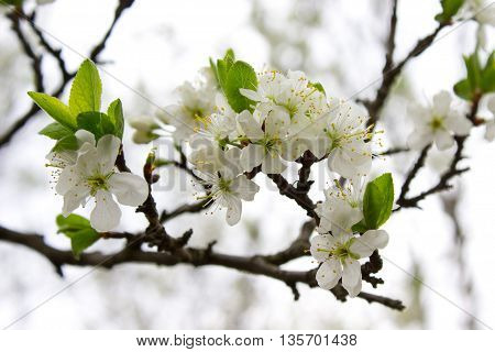 Blooming of white flowers in the springtime