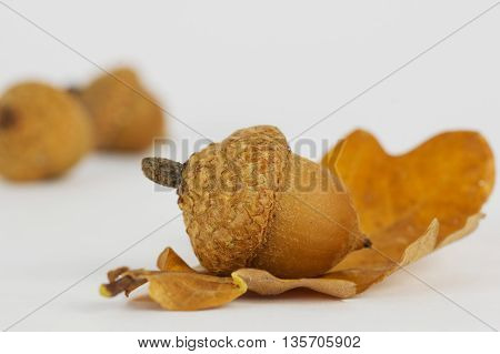 autumn leaves oak acorns on a white background