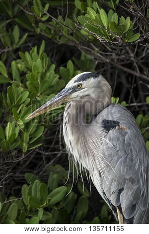 The sharp eyes of a Galapagos Great Blue Heron as it looks for food