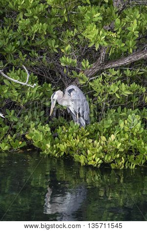 Galapagos Great Blue Heron reflected in the water as it waits patiently for fish