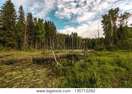 the marshland to the lowland of the mixed fir-tree and birch wood in the summer evening