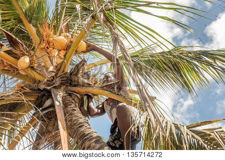Mobmasa, Kenya- March 16,2016: African man collecting coconuts from a coconut palm tree in Kenya Africa