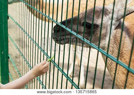 Lama Eating Out Of The Hand Of A Boy.