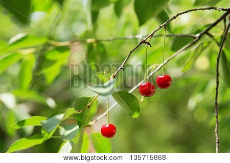 Ripening Cherries On A Tree In The Garden On The Farm.