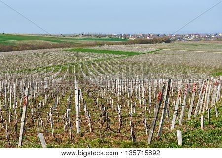 Field With Grapevine In Spring Sun