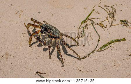 Crab walking on the sandy beach in Kenya
