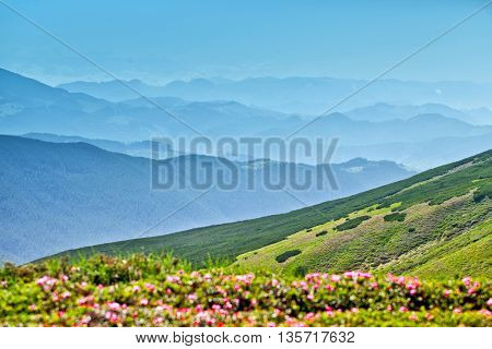 Rhododendron bush flowers in the mountains. Sunny summer evening. Beautiful sunset on the mountainside. Carpathians, Ukraine, Europe