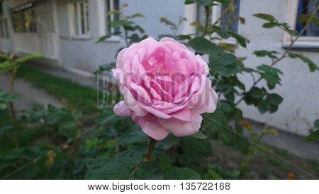 прекрасная розовая роза, сфотографированная погожим летним дн