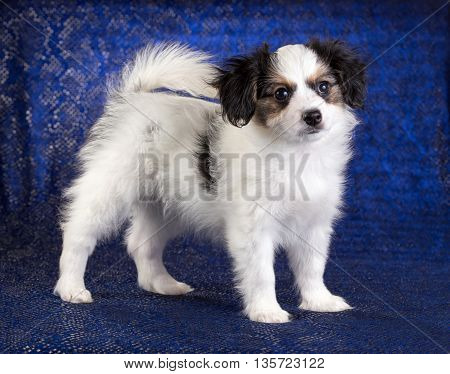 Cute puppy of the Continental Toy spaniel - Phalene -on a blue background
