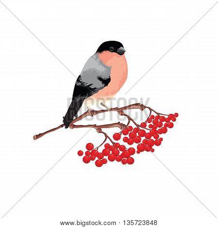 Bullfinch on rowan branch isolated on white background. Vector illustration of christmas bird