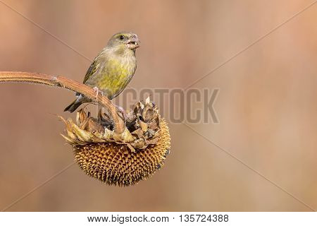 female greenfinch eating on a sunflower outdoor