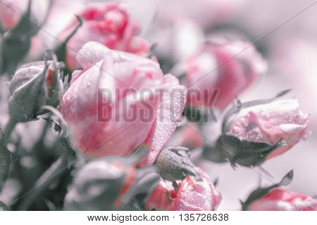 Gentle blurred floral background of roses with dew. Greeting card for wedding or Valentine's day. Selective focus toning.