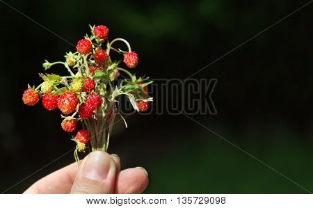 Bunch of wild strawberry in woman's hand summer scene. With space for text.