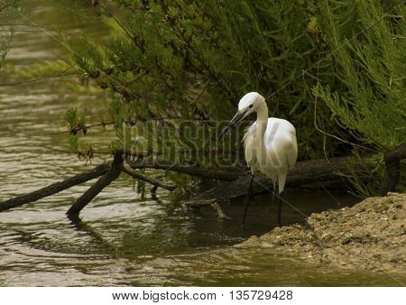 Egret in the wild, on the lake