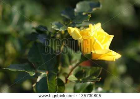 rose flower blooming in garden outdoors fall