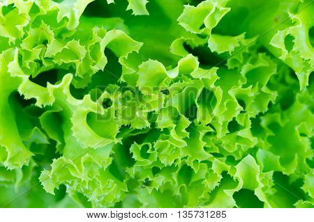 Green Background Lettuce Close Up Macro Shot