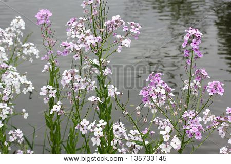 Colorful Phlox Wildflowers in spring with water in back ground