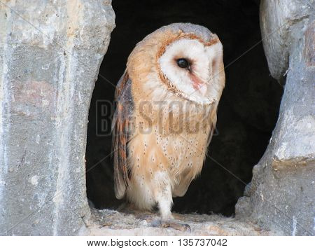 Wise owl staring from cave