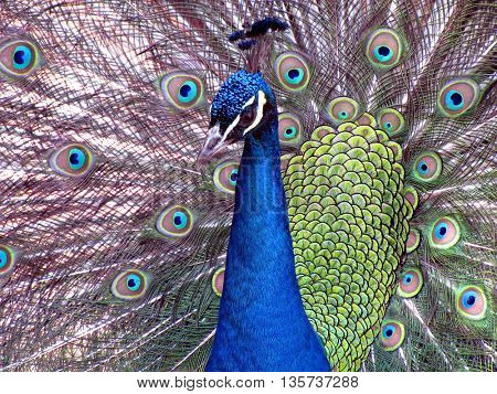 Portret of beautiful peacock