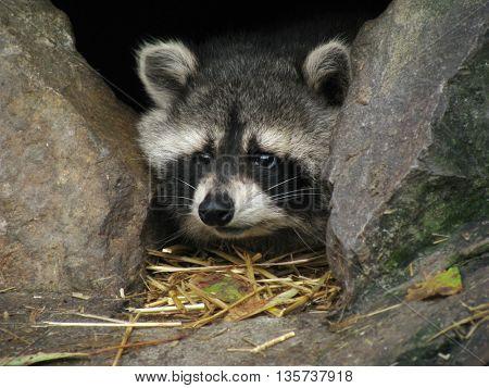Small afraid raccoon