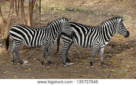 Beautiful zebras standing together