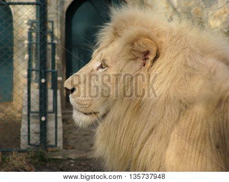 Beautiful profile of proud lion