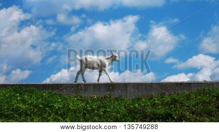 goat's portrait on a green sunny meadow background