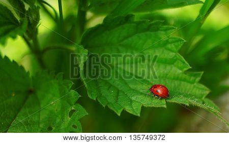 leaf with  Ladybug
