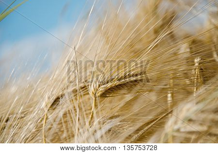 backdrop of ripening ears of yellow wheat field on the sunset cloudy orange sky background
