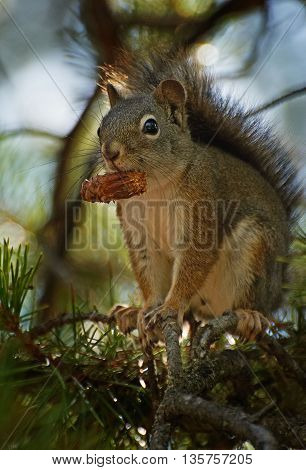 Gray squirrel with  strobile on the tree