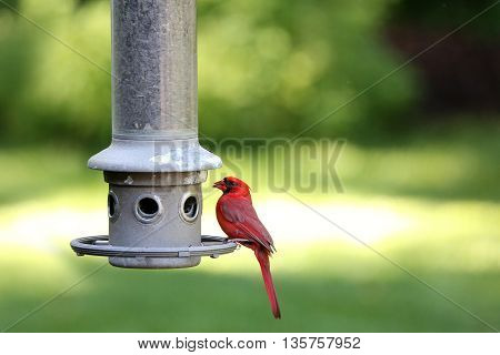 Male Cardinal bird at feeder near end of day