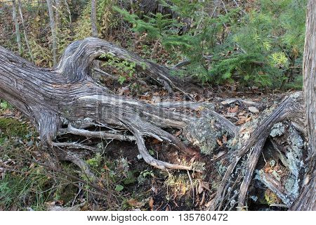 large tree growing sideways out of river bank roots showing
