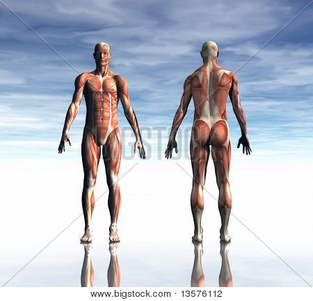 A rendering of a mans muscles from front and back