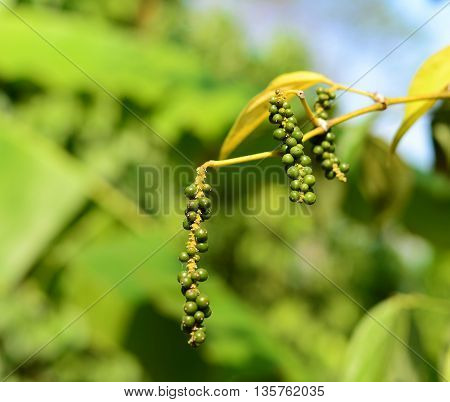 green pepper in garden with soft green background