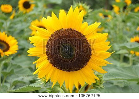 a blooming sunflower in the garden smile to me