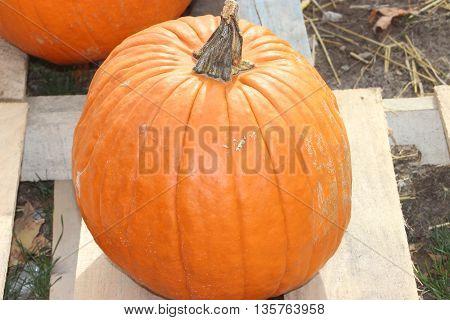 Fall orange pumpkin medium size farm harvest