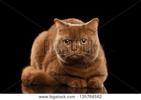 British Cat Cinnamon color Lying and Curious Looks Isolated Black Background Front view
