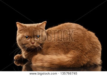 Fat British Cat Cinnamon color Lying and Angry Looking from back Isolated Black Background