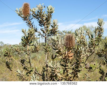 Dried, brown Banksia pendants on a native plant in the Kalbarri National Park bushland under a clear blue sky in Western Australia.